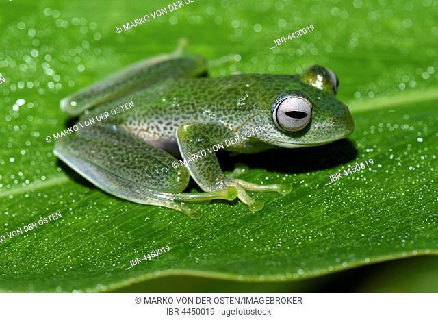Frog (Boophis sandrae), Andasibe National Park, Madagascar