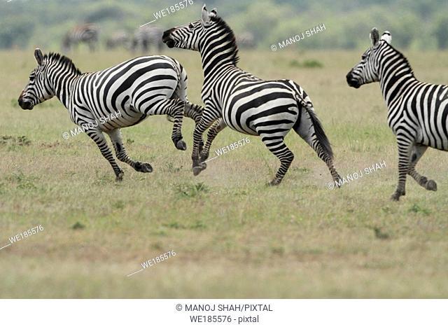 Burchell's Zebra, savannah, Masai Mara National Reserve, Kenya