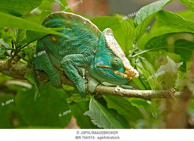 Parson's Chameleon (Calumma parsonii), adult male, Madagascar, Africa