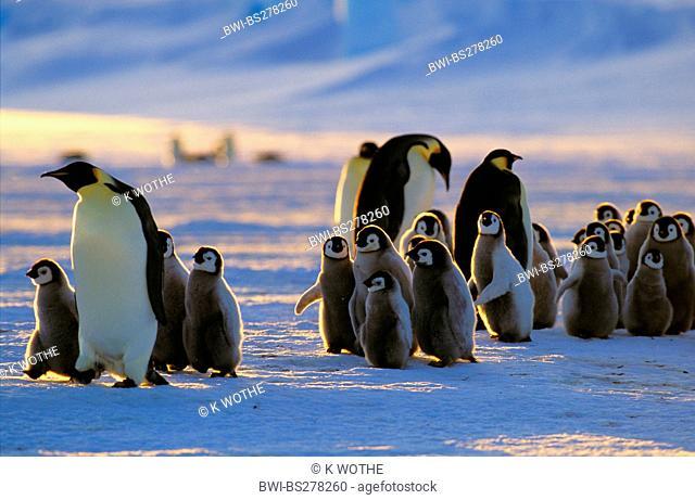 Emperor penguin Aptenodytes forsteri, with chicks, Antarctica