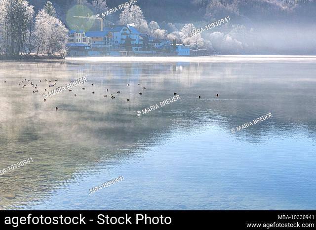 Ducks on Kochelsee in winter, Bavaria, Germany, Europe