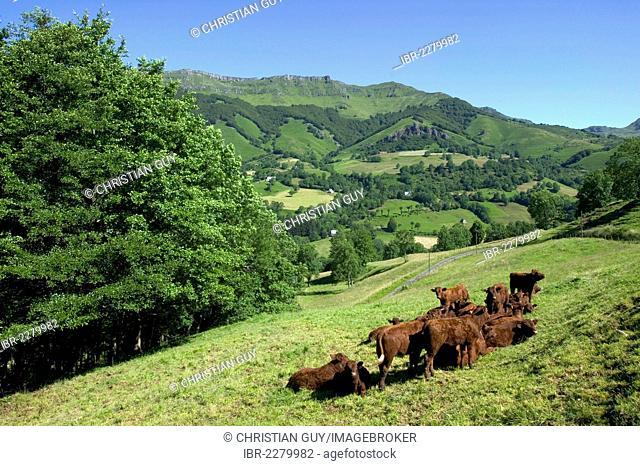 Salers cattle, Mandailles Valley, Parc Naturel Regional des Volcans d'Auvergne, Auvergne Volcanoes Regional Nature Park, Cantal, France, Europe