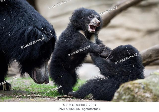 Two young sloth bears play with their mother, Lina, in the zoo in Leipzig, Germany, 05 May 2015. 912 animals were born here in the past year
