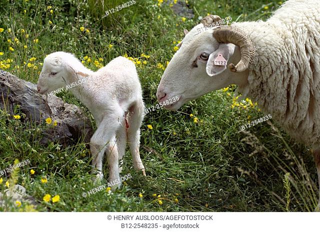 Sheep (Ovis aries), Basco-Bearnaise, with lamb just born, Pyrenees, France