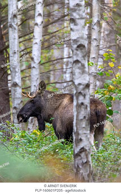 Young moose bull (Alces alces) in birch forest in autumn, Scandinavia