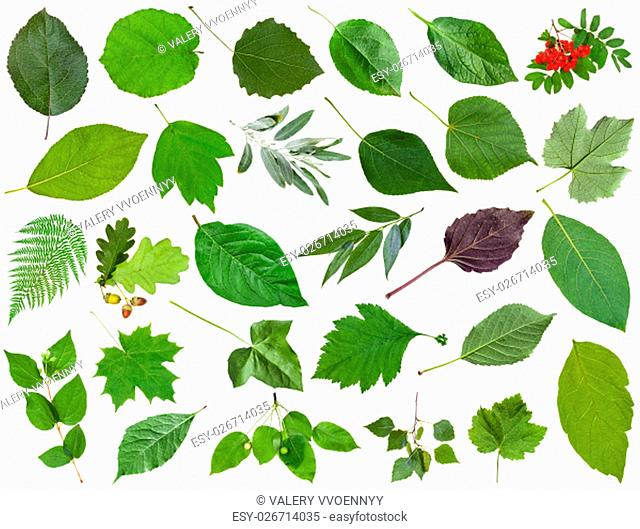 set of varuious green leaves isolated on white - apple, fern, rowan, oak, acorn, honeysuckle, acer, maple, ash, vine, grape, parthenocissus, ivy, malus, basil