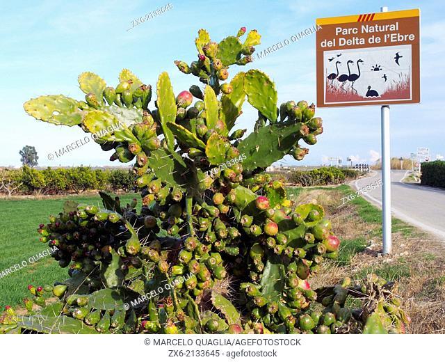 Cactus Indian fig fruits (Opuntia ficus-indica) at Sant Carles de la Rapita village countryside. Ebro River Delta Natural Park, Tarragona province, Catalonia