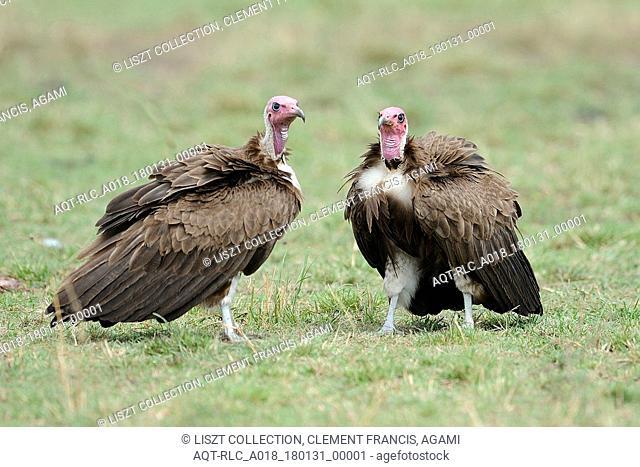 Endangered Hooded Vultures (Necrosyrtes monachus) in Africa, Necrosyrtes monachus, Hooded Vulture