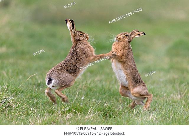 European Hare (Lepus europaeus) adult pair, 'boxing', female fighting off male in grass field, Suffolk, England, March