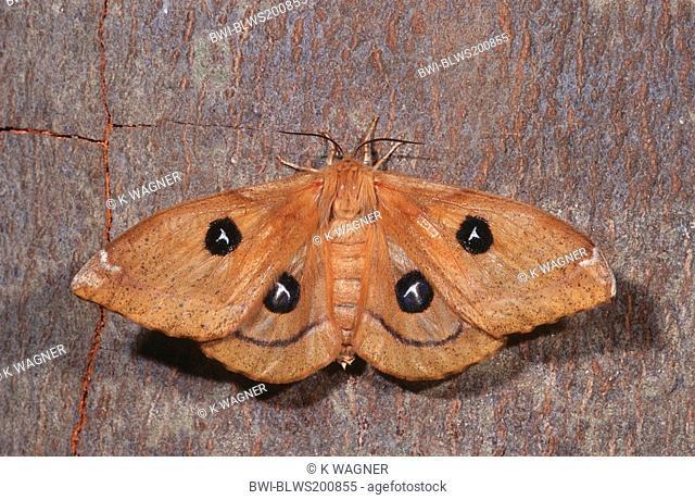 tau emperor Aglia tau, with opened wings at a stem