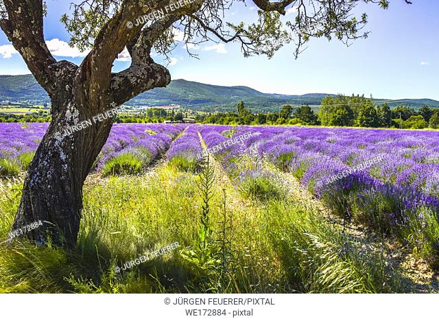 lavender field of a farm, near Sault, Provence, France, skew grown shady tree in foreground, department Vaucluse, region Provence-Alpes-Côte d'Azur