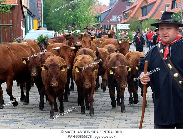 dpatop - Cow herders march through the town along with their cows during the traditional Cow Prom in Tanne, Germany, 21 May 2017