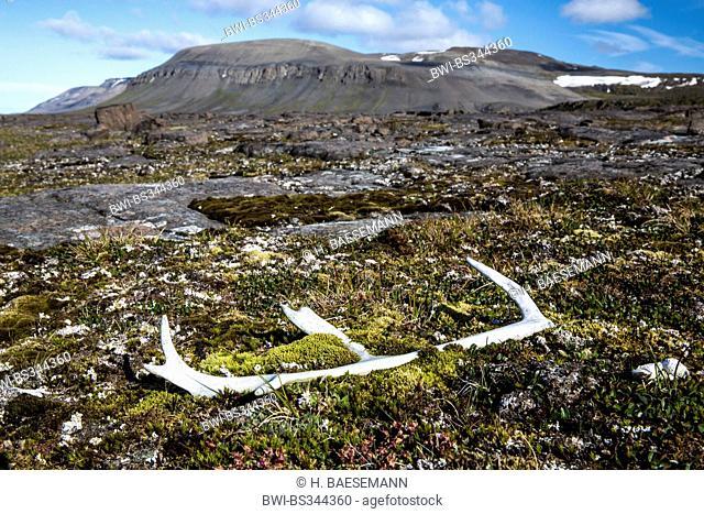 Svalbard reindeer (Rangifer tarandus platyrhynchus ), reindeer antler in tundra, Norway, Svalbard, Svalbard Inseln, Barentsøya