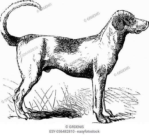 Engraving Dog Breed Stock Photos And Images