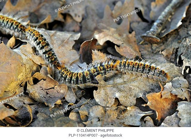 Pine processionary moth caterpillars Thaumetopoea pityocampa / Traumatocampa pityocampa following each other in a long, head to tail procession on the forest...