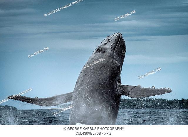 Humpback whale (Megaptera novaeangliae), breaching, Tonga, Fiji