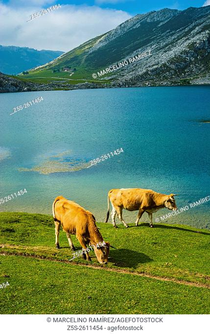 Cows grazing in the meadows near the lake Enol. lakes of Covadonga. Asturias, Spain