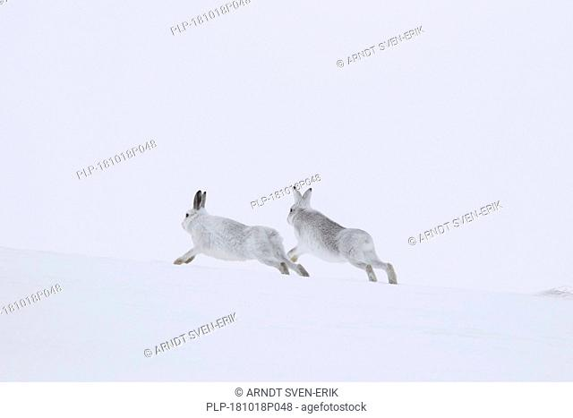 Mountain hare / Alpine hares / snow hare (Lepus timidus) male in white winter pelage chasing female in the snow