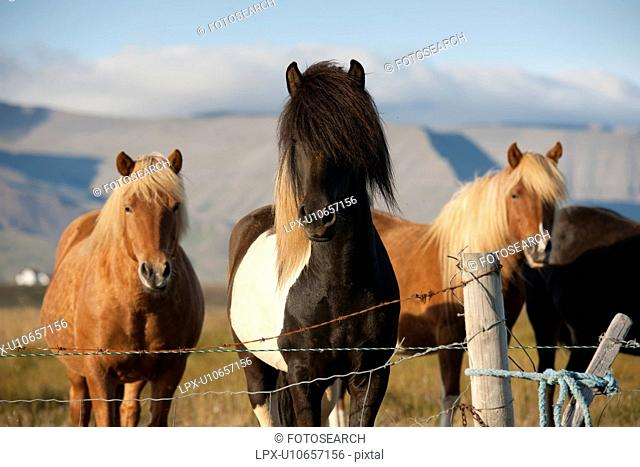 Quartet of Icelandic horses in the sunlight, in a pasture, behind a barbed wired fence