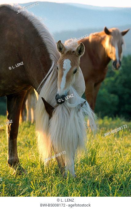 Finnhorse (Equus przewalskii f. caballus), mare and foal