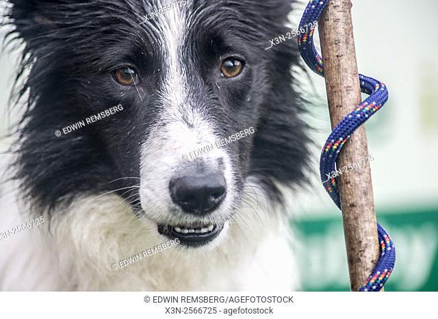 Border collie at the International Sheep Dog Trials in Moffat, Scotland, UK