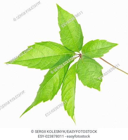 Leaf of wild grapes isolated on white background