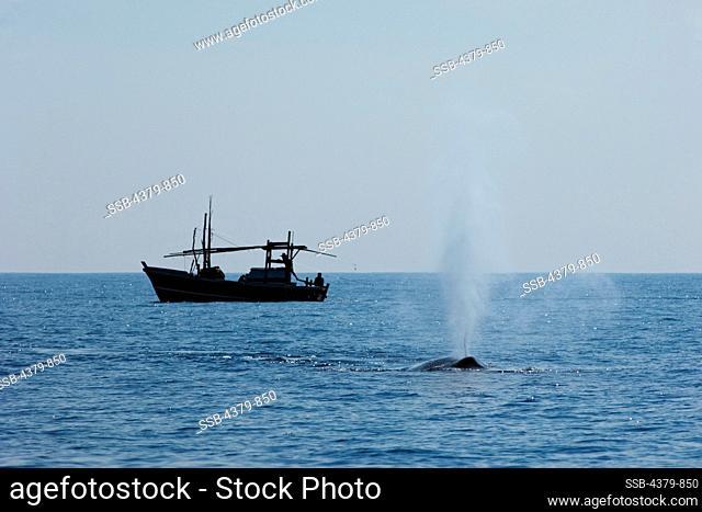 A pygmy blue whale (Balaenoptera musculus brevicauda), blowing near a fishing boat, Sri Lanka