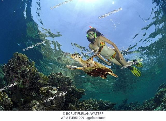 Hawksbill Turtle and Reef, Eretmochelys imbricata, Marsa Alam, Red Sea, Egypt