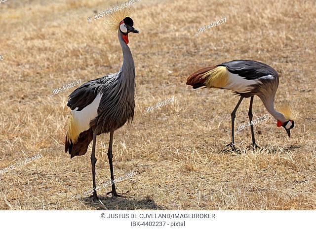 Grey-necked crowned cranes (Balearica regulorum) in dry grassland, Ngorongoro crater, Serengeti UNESCO World Heritage Site, Tanzania