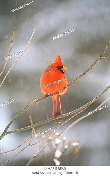 Northern Cardinal Male (Cardinalis cardinalis) w/ falling snow - Freeville, NY