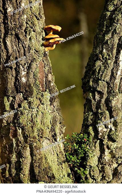 Birch Betula - National Park Veluwezoom, de Posbank, Veluwe, Guelders, The Netherlands, Holland, Europe