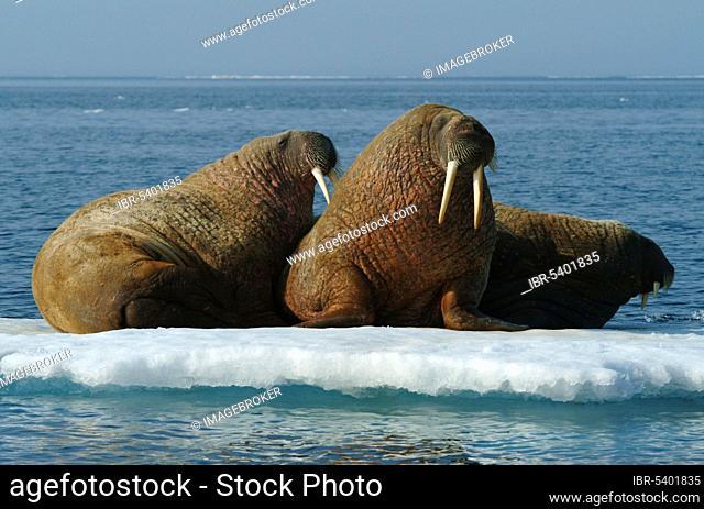 Walruses on ice floe, Nunavut Territory, Canada, Walruses (Odobenus rosmarus) on ice floe, Arctic, Arctic, Canada, North America