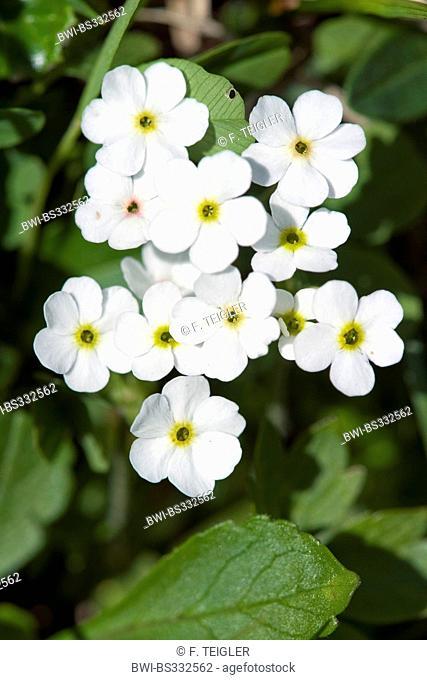 Alpine forget-me-not (Myosotis alpestris), blooming white, Switzerland