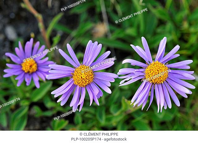 Alpes astre Happy End-Aster alpinus