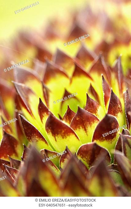 Hens and chicks. Sempervivum tectorum