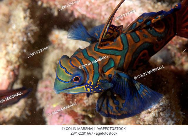 Mandarinfish (Synchiropus splendidus) with ornate markings amongst coral, Lembeh Island Resort House Reef dive site, Lembeh Straits, Sulawesi, Indonesia