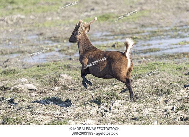India, State of Assam, Kaziranga National Park, Hog Deer ( Axis porcinus or Hyelaphus porcinus), adult male with velvets, running