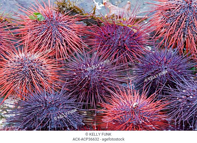 A large cluster of Sea Urchins in Burnaby narrows, Gwaii Haanas National park, Haida Gwaii, British Columbia