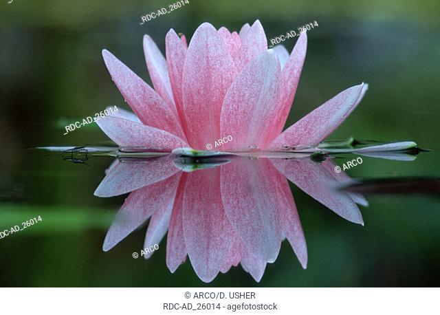 Water Lily Nymphaea hybride