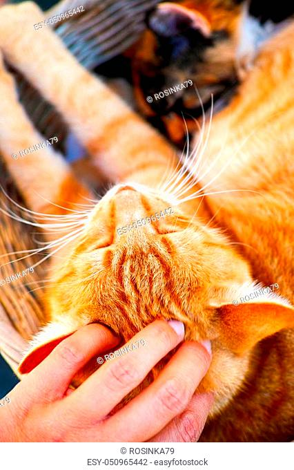 Person hand pats ginger cat. Close-up