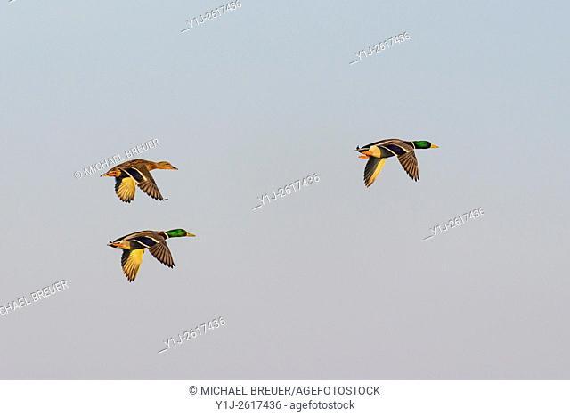 Flying Mallards, Male and Female, Hesse, Germany, Europe