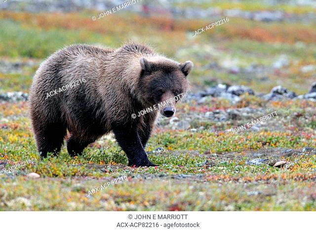 Barrenground grizzly bear