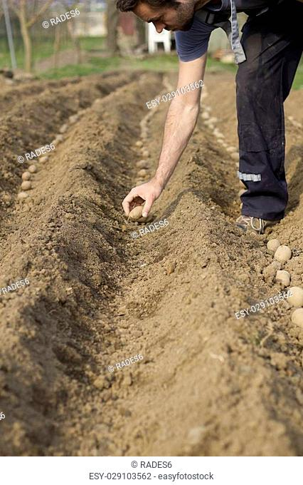 Adult male hand planted potatoes (shallow DOF)