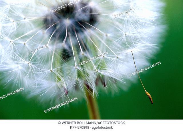 Common Dandelion (Taraxacum officinale). Oland, Sweden