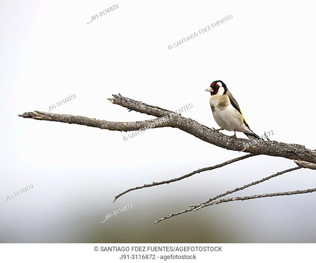 European goldfinch (Carduelis carduelis). Tablas de Daimiel. Ciudad Real province. Spain
