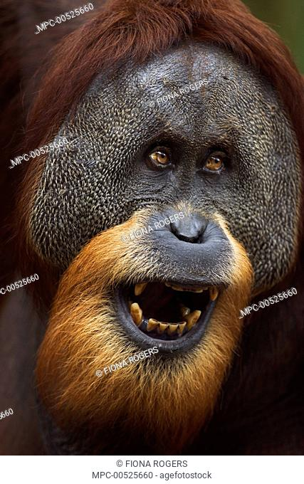 Sumatran Orangutan (Pongo abelii) twenty-six year old male, named Halik, in threat display, Gunung Leuser National Park, Sumatra, Indonesia