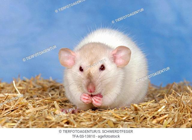eating rat