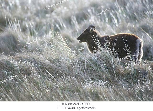 soay sheep in the roosduinen naturereserve on the Dutch island of Ameland in the waddensea