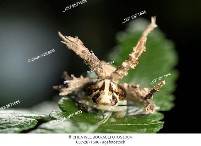 Acanalonidae planthopper nymph. Image taken at Kampung Skudup, Sarawak, Malaysia