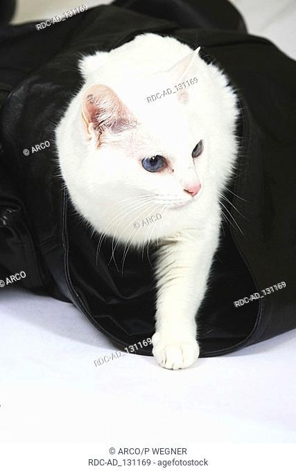 Oriental Shorthair Cat white
